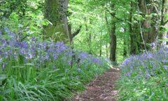 Pathway through the bluebells, Clyne Woods Swansea