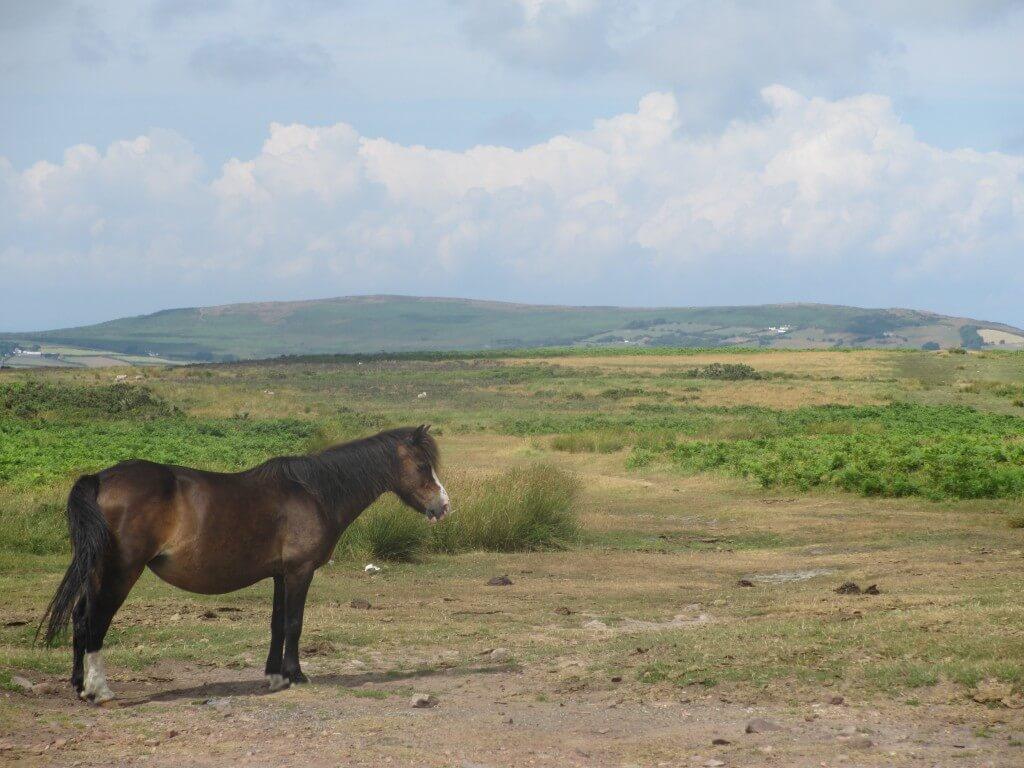 Pony at Cefy Bryn - Gower Peninsula