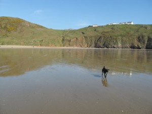 Rush, our dog, walks down the beach at Rhossili