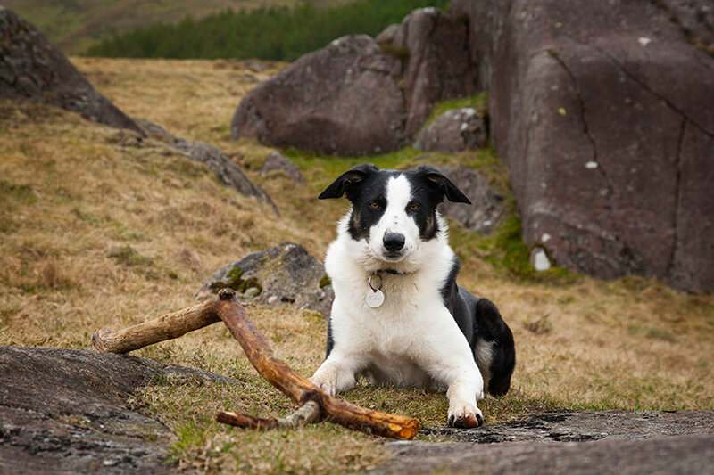sheepdog on the beach with a stick © Crown copyright (2014) Visit Wales.