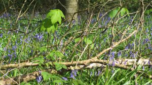 Bluebells in close up