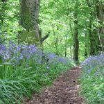Pathway through the bluebells, Clyne Woods Swansea Bay