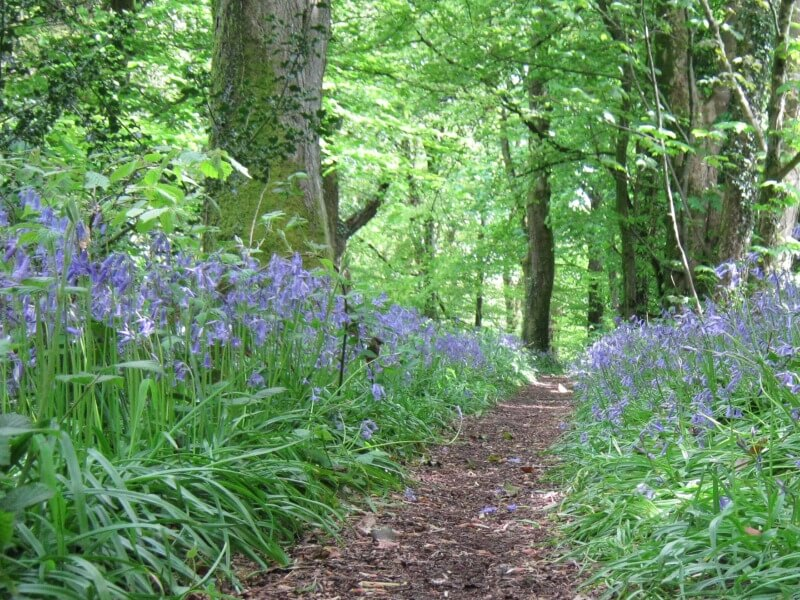 Pathway through the bluebells, Clyne Woods Swansea Bay